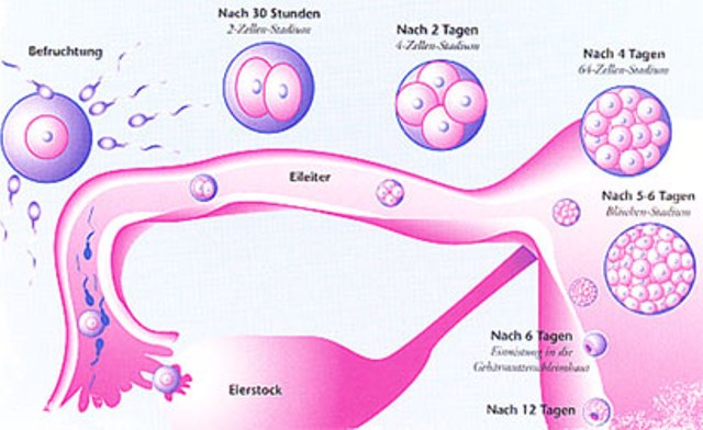 Wie Funktioniert Befruchtung